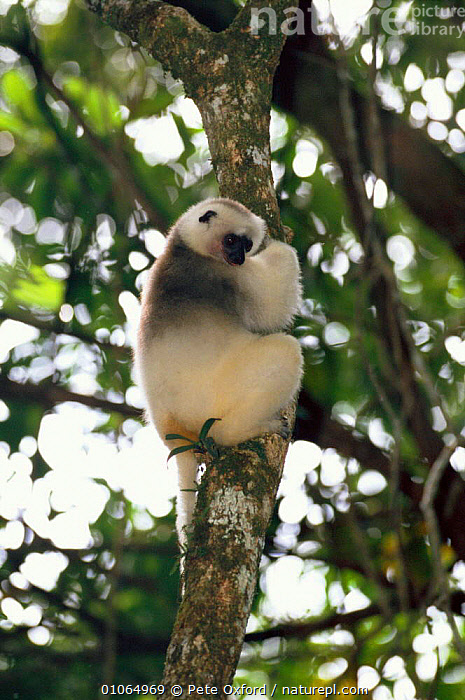 Silky sifaka {Propithecus diadema candidus} in tree, Marojejy Reserve, Madagascar, CLIMBING,FOREST,MADAGASCAR,MAMMALS,MAROJEJY,PO,PRIMATES,RESERVE,TREES,TROPICAL RAINFOREST,VERTICAL,PLANTS,LEMURS, Pete Oxford