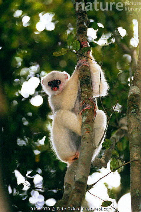 Silky sifaka {Propithecus diadema candidus} in tree, Marojejy Reserve, Madagascar, CLIMBING,FOREST,MADAGASCAR,MAMMALS,MAROJEJY,PO,PORTRAITS,PRIMATES,RESERVE,TREES,TROPICAL RAINFOREST,VERTICAL,WHITE,PLANTS,LEMURS, Pete Oxford