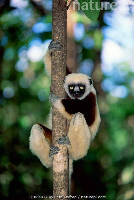 Coquerel's sifaka {Propithecus verreauxi coquereli}, Western Dry Forest, Madagascar, HEADS,FACES,MAMMALS,OUTSTANDING,CLIMBING,CUTE,TROPICAL DRY FOREST,TREES,PORTRAITS,VERTICAL,PRIMATES,LEMURS,Plants, Pete Oxford