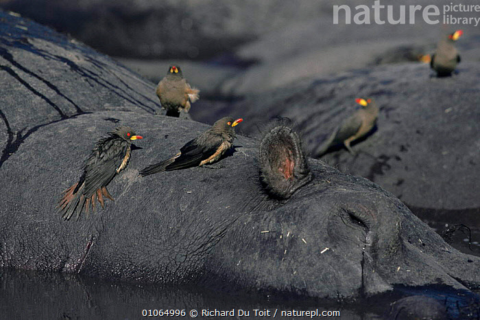 Yellow billed oxpecker group on Hippo {Buphagus africanus} Khwai River, Moremi, Botswana, AFRICA, BIRDS, GROUPS, HUMOROUS, MIXED-SPECIES, OXPECKERS, SOUTHERN-AFRICA, VERTEBRATES, YELLOW,Concepts, Richard Du Toit