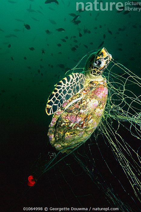 Young hawksbill turtle caught in fishing net {Eretmochelys imbricata} Andaman Sea, Thailand. Drowned dead  ,  ANDAMAN,DEAD,DEATH,FISHERIES,MARINE,NETS,REPTILES,SAD,SEA,THAILAND,TURTLE,UNDERWATER,WILDLIFE,CONCEPTS,CHELONIA, TURTLES, Turtles, Turtles, Turtles,Catalogue1  ,  Georgette Douwma