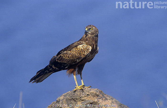 Brown Snake Eagle {Ciraetus cinereus} perched on rock, Chobe NP, Botswana  ,  BIRDS,BIRDS OF PREY,EAGLES,NP,VERTEBRATES,National Park  ,  Tony Heald