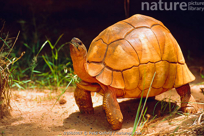 Ploughshare Tortoise {Geochelone yniphora} Madagascar, CHELONIA, PORTRAITS, TORTOISES, VERTEBRATES, CONSERVATION, REPTILES, Pete Oxford