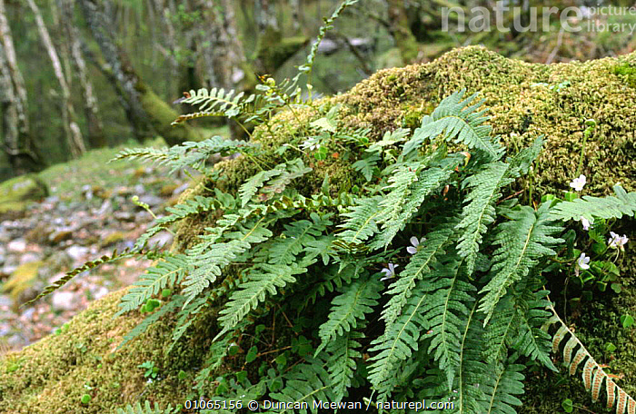 Polypody fern on fallen tree {Polypodium vulgare}, Oakwood, Inverness-shire, Scotland, EUROPE,FERNS,GREEN,LEAVES,PLANTS,POLYPODIACEAE,PTERIDOPHYTES,SCOTLAND,TREES,UK,WOODLANDS,United Kingdom,British, Duncan Mcewan