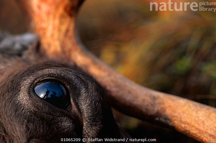 Men and guns reflected in eye of dead caribou {Rangifer tarandus} Kobuk Valley NP, Alask  ,  ALASKA,ARTIODACTYLA,DEATH,DEER,EYES,HORRIFIC,HUNTING FOOD,MAMMALS,PEOPLE,REFLECTIONS,SHOOTING,TRADITIONAL,USA,North America  ,  Staffan Widstrand