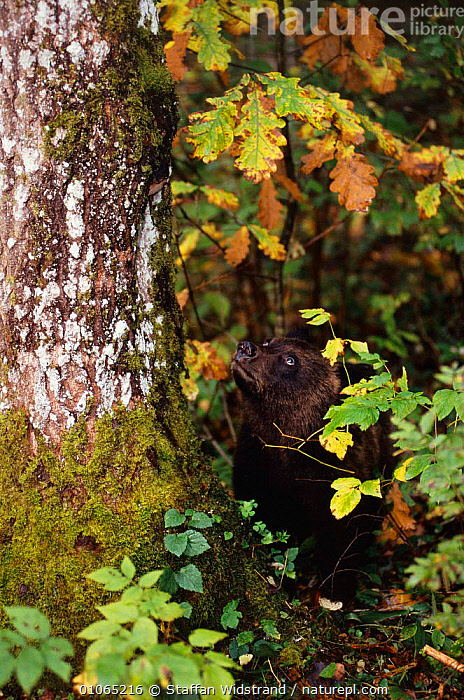 Brown bear cub looking up tree {Ursus arctos}, Tverskaya oblast, Russia.  ,  BEARS,CARNIVORES,CUBS,CUTE,JUVENILE,MAMMALS,RUSSIA,TREES,VERTICAL,YOUNG,Plants  ,  Staffan Widstrand