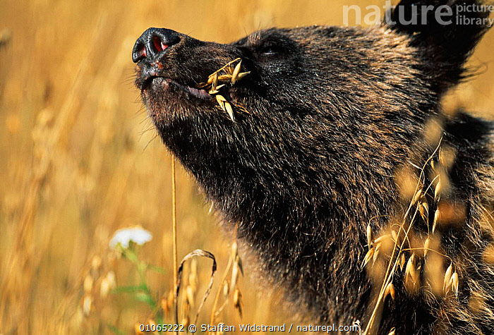 Brown bear cub eating oats, female {Ursus arctos} Tverskaya oblast, Russia., BEARS,CARNIVORES,CROPS,CUTE,FACES,FEEDING,HEADS,MAMMALS,MOUTHS,NOSES,RUSSIA, Staffan Widstrand