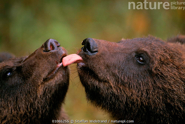 Two wild female Brown bear cubs licking each other {Ursus arctos}, Tverskaya oblast, Russia, captive, AFFECTION,BEARS,CARNIVORES,COMMUNICATION,CUBS,CUTE,FACES,FRIENDSHIP,HEADS,HORIZONTAL,JUVENILE,MAMMALS,MOUTHS,NOSES,RUSSIA,TONGUES,VERTEBRATES,Concepts, Staffan Widstrand