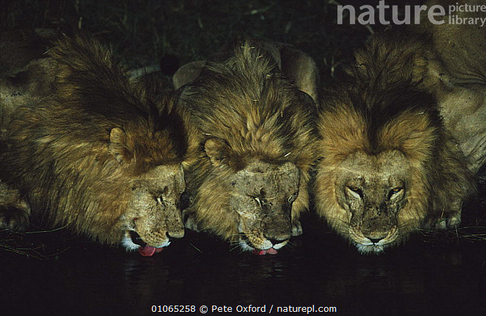Male Lions (Panthera leo) drinking at night, Okavango Delta, Botswana, Southern Africa, AFRICA,BIG CATS,CARNIVORES,CATS,DRINKING,FACES,GROUPS,LIONS,MALES,MAMMALS,NIGHT,SOUTHERN AFRICA,SOUTHERN AFRICA,VERTEBRATES,WATERHOLE, Pete Oxford