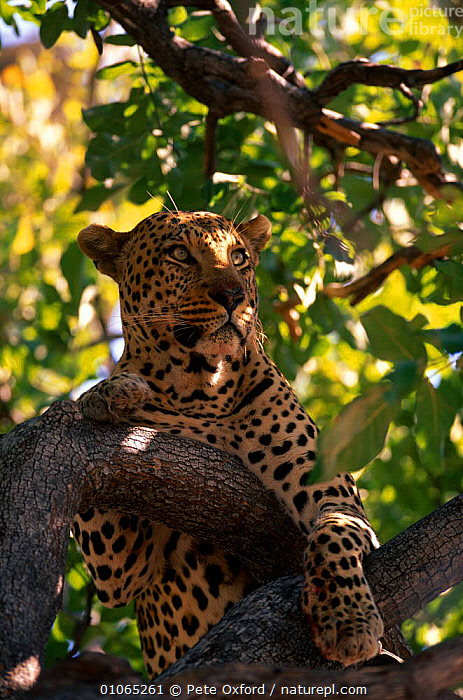 Leopard resting in tree {Panthera pardus} Okavango Delta, Botswana, BIG CATS,CARNIVORES,CATS,LEOPARDS,MAMMALS,PORTRAITS,SOUTHERN AFRICA,TREES,VERTEBRATES,VERTICAL,Plants, Pete Oxford