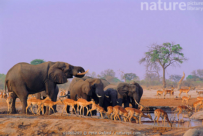 African Elephants & mixed game at waterhole {Loxodonta africana} Chobe NP, Botswana, BIODIVERSITY,MAMMALS,DRINKING,MIXED SPECIES,TREE,WATER,DRAMATIC,IMPALA,INTERESTING,GROUPS,BLUE,SKY,AFRICA,PROBOSCIDS,ELEPHANTS, Pete Oxford