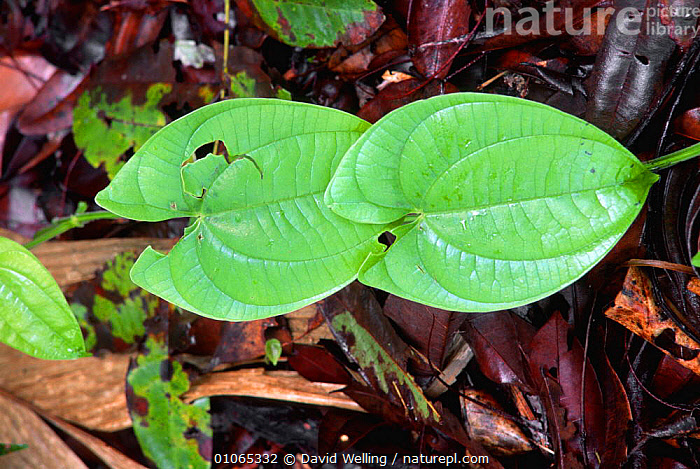 Large leafed climber plant, Canaima NP, Venezuela, CLIMBERS,GREEN,LEAVES,PLANTS,SOUTH AMERICA,TROPICAL RAINFOREST,SOUTH-AMERICA, David Welling