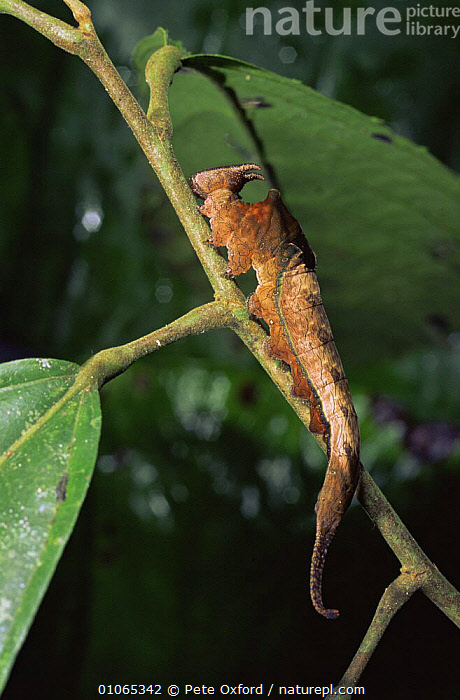 Brush footed butterfly caterpillar {Nymphalidae} Ecuador, Amazonia, INSECTS, INVERTEBRATES, LARVAE, mimicry, tropical-rainforest, WEIRD, ARTHROPODS, BUTTERFLIES, CAMOUFLAGE, LEAVES, LEPIDOPTERA, SOUTH-AMERICA, VERTICAL, Pete Oxford
