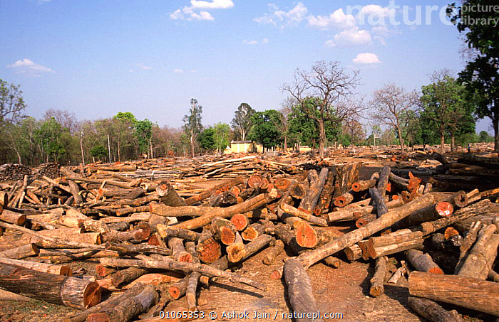 Teak tree logs ready for auction, Seoni, Central India.  In India all tree felling is done by the government, who then hold massive tree auctions., ASIA,AUCTIONS,FORESTRY,HARDWOOD,INDIAN SUBCONTINENT,MARKETS,TEAK,TRADE,TREES,TROPICAL,TRUNKS,Plants,SCOTLAND,INDIAN-SUBCONTINENT, Ashok Jain