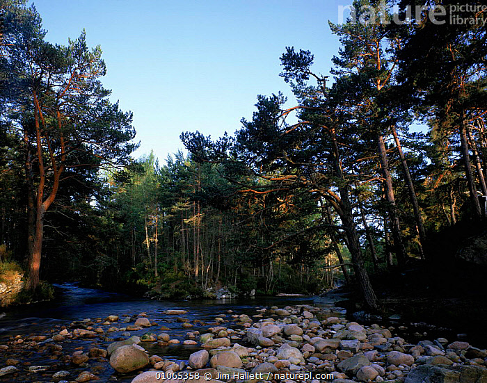 River in ancient pine forest Rothimercus Forest, Scotland., FOREST,TREES,LANDSCAPES,PINE,HORIZONTAL,RIVERS,ANCIENT,JIM,EUROPE,JHA,ROTHIMERCUS,WATER,WOODLANDS,HALLETT,CONIFEROUS,PLANTS, Jim Hallett