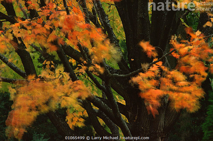 Autumn abstract of leaves on Maple tree blowing in wind, Michigan, USA, ABSTRACTS,ACERACEAE,AUTUMN,BLUR,DICOTYLEDONS,HORIZONTAL,LEAVES,MOTION,MOVEMENT,ORANGE,PLANTS,TREES,USA,North America , blurred, Larry Michael