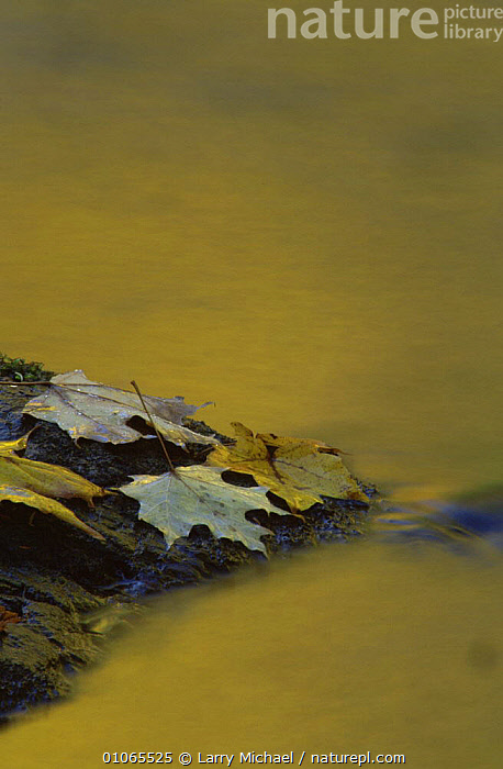Autumn leaves on mossy rock in running water, Michigan, USA, ABSTRACTS,ARTY SHOTS,AUTUMN,GREEN,LEAVES,REFLECTIONS,RIVERS,USA,VERTICAL,WATER,North America, Larry Michael