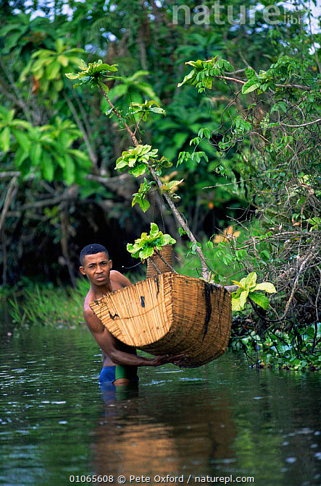 Fisherman with traditional shrimp trap in river, Maroantsetra, Madagascar, AFRICA,FISHING,HUNTING FOOD,MADAGASCAR,PEOPLE,RIVERS,VERTICAL, Pete Oxford