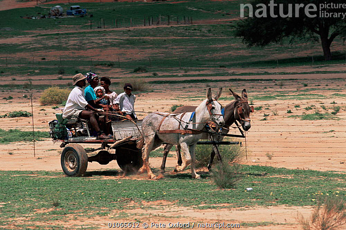 Local family in traditional donkey cart, Kalahari, South Africa, AFRICA,ARTIODACTYLA,DESERTS,FAMILIES,GROUPS,MAMMALS,PEOPLE,SOUTHERN AFRICA,TRADITIONAL,TRANSPORT,WORKING, Pete Oxford