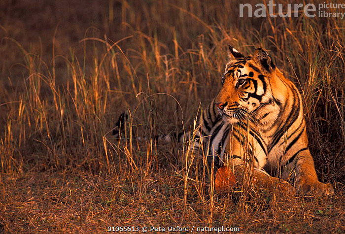 2 yr old male Tiger in grass {Panthera tigris} Bandhavgarh NP, India, BIG,BIG CATS,CARNIVORES,CATS,FELIDAE,INDIAN SUBCONTINENT,MALES,MAMMALS,SINGLE,ASIA,TIGERS, Pete Oxford