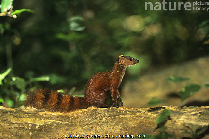 Northern ringed-tailed mongoose {Galida elegans dambrensis} sitting, Ankarana Reserve, Madagascar, CARNIVORES,MADAGASCAR,MAMMALS,MONGOOSES,RESERVE,VERTEBRATES, Pete Oxford