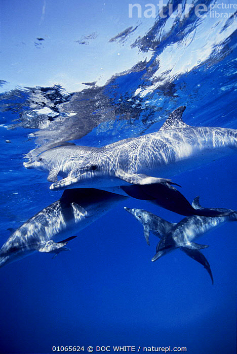 Group of Atlantic spotted dolphins {Stenella frontalis} underwater, Bahamas, ATLANTIC,BLUE,CARIBBEAN,CETACEANS,DOLPHINS,FAMILIES,GROUPS,MAMMALS,MARINE,OUTSTANDING,PEACEFUL,SPOTTED,UNDERWATER,VERTEBRATES,VERTICAL,Concepts,West Indies, Mammals, DOC WHITE