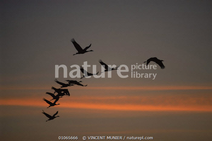Common cranes {Grus grus} flying across sky at sunset, Lac du Der, Chantecoq, France, ACTION,BIRDS,CRANES,EUROPE,FLYING,FRANCE,GROUPS,HORIZONTAL,PEACEFUL,SILHOUETTES,SKY,VERTEBRATES,Concepts, VINCENT MUNIER