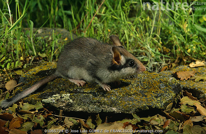 Garden dormouse {Eliomys quercinus} Spain, DORMICE,EUROPE,GARDENS,MAMMALS,MICE,PORTRAITS,RODENTS,SPAIN,VERTEBRATES,Muridae, Jose Luis GOMEZ de FRANCISCO