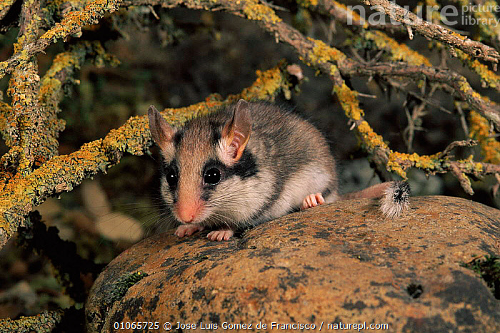 Garden dormouse {Eliomys quercinus} Spain, JOSE,EUROPE,MAMMALS,RODENTS,LUIS,HORIZONTAL,GOMEZ,JGO,SPAIN,GARDENS,MURIDAE, Jose Luis Gomez de Francisco