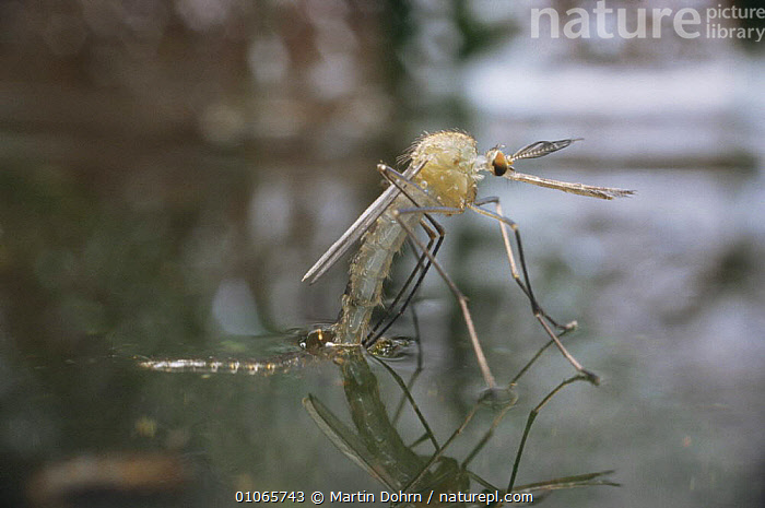 Mosquito {Culex pipiens} emerging from pupa at water surface, UK, CHRYSALIS,DIPTERA,EMERGING,EUROPE,FLIES,FRESHWATER,INSECTS,INVERTEBRATES,METAMORPHOSIS,MOSQUITOES,UK,United Kingdom,Growth,British,Concepts, United Kingdom, United Kingdom, United Kingdom,Catalogue1, Martin Dohrn
