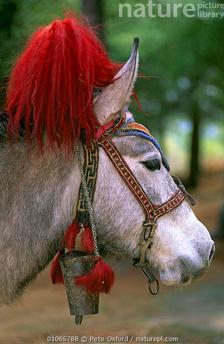 Decorated bridle of lead pack horse / donkey, Paro valley, Bhutan., ARTIODACTYLA,ASIA,HEADS,INDIAN SUBCONTINENT,MAMMALS,TRADITIONAL,INDIAN-SUBCONTINENT, Pete Oxford