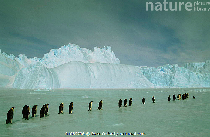 Emperor penguin walking in line {Aptenodytes forsteri} Antarctica, ANTARCTICA,BIRDS,FLIGHTLESS,FROZEN,GROUPS,ICE,LANDSCAPES,LINES,PENGUINS,POLAR,SEABIRDS,VERTEBRATES, Seabirds, Pete Oxford