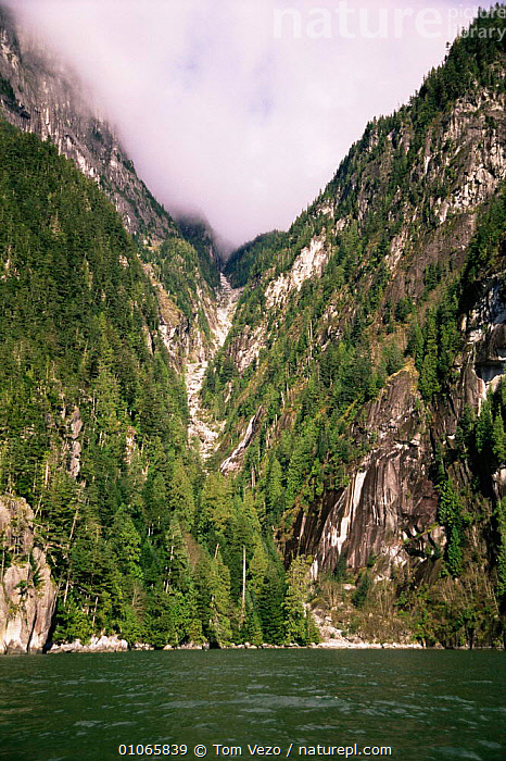 Looking up steep forested hillsides of Knight Inlet, British Columbia, Canada, CANADA,CLIFFS,CLOUDS,CONIFEROUS,hillsides,LANDSCAPES,NORTH AMERICA,PLANTS,TREES,VERTICAL,WATER,Weather,Geology, Tom Vezo