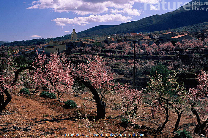 Almond Tree {Prunus dulcis} cultivated Alicante, Spain, BRANCHES,JRU,ALICANTE,CROPS,DICOTYLEDONS,LANDSCAPES,SPAIN,EUROPE,LEAVES,ORCHARD,FRUITS,TREES,BUILDINGS,JOSE,HORIZONTAL,VILLAGE,CROP,BLOSSOM,FRUIT,PLANTS,RUIZ, Jose B. Ruiz