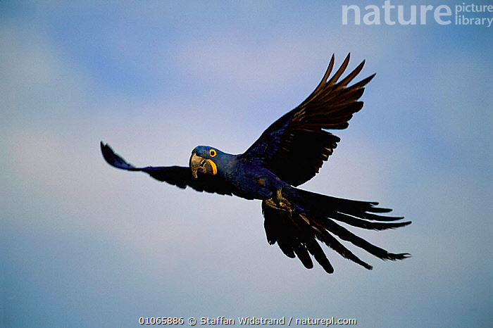 Hyacinth macaw in flight {Anodorhynchus hyacinthinus}, Pantanal, Brazil NOT AVAILABLE FOR ADVERTISING, ACTION,BIRDS,BLUE,COLOURFUL,ENDANGERED,FACES,FLYING,PARROTS,PORTRAITS,SOUTH AMERICA,WINGS,Macaws, Staffan Widstrand