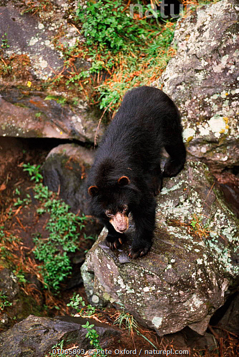 Spectacled bear {Tremarctos ornatus}, Andes, Ecuador, South America  ,  ALPINE,ANDES,CAPTIVE,CARNIVORES,ECUADOR,MAMMALS,PO,SOUTH AMERICA,VERTICAL  ,  Pete Oxford
