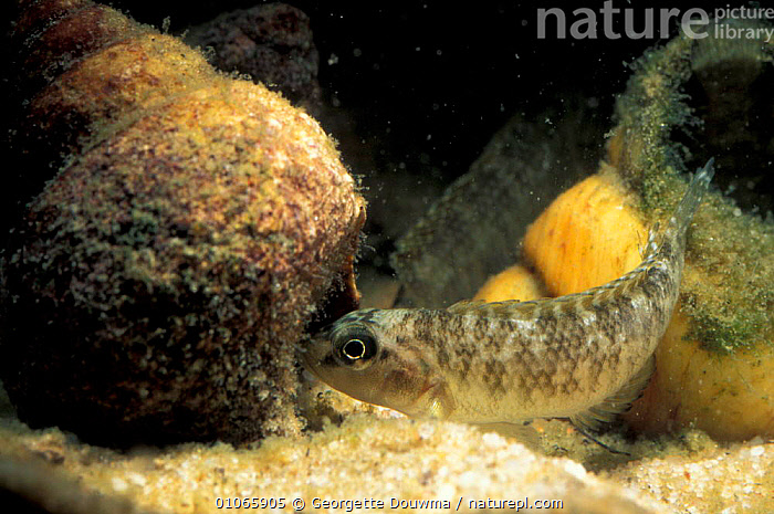 Cichlid fish, female, with shell used for breeding {Lamprologus callipterus} Zambia, LAKES,CICHLIDS,LAKE,TROPICAL,BEHAVIOUR,UNDERWATER,REPRODUCTION,TANGANYIKA,AFRICA,FEMALES,FRESHWATER,SOUTHERN AFRICA, Georgette Douwma
