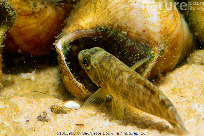 Cichlid fish, female with shell used for breeding {Lamprologus callipterus} Zambia, AFRICA,FEMALES,FISH,FRESHWATER,GD,LAKE,LAKES,SHELL,SOUTHERN AFRICA,TANGANYIKA,ZAMBIA, Georgette Douwma