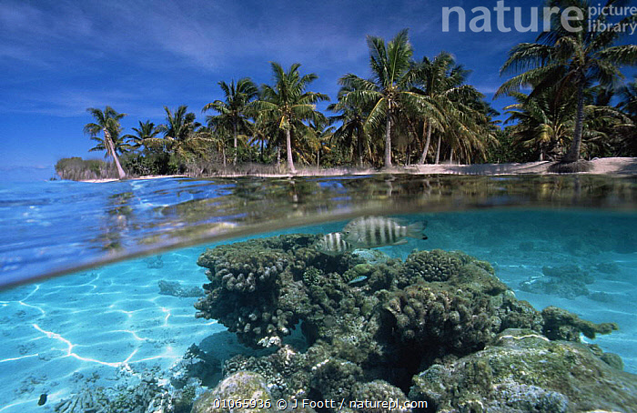 Split-level coral reef and palm trees with fish, Rangiroa, French Polynesia, HOLIDAYS,MARINE,OCEANIA,PACIFIC ISLANDS,SEA,TROPICAL,Concepts,FRENCH POLYNESIA, J Foott