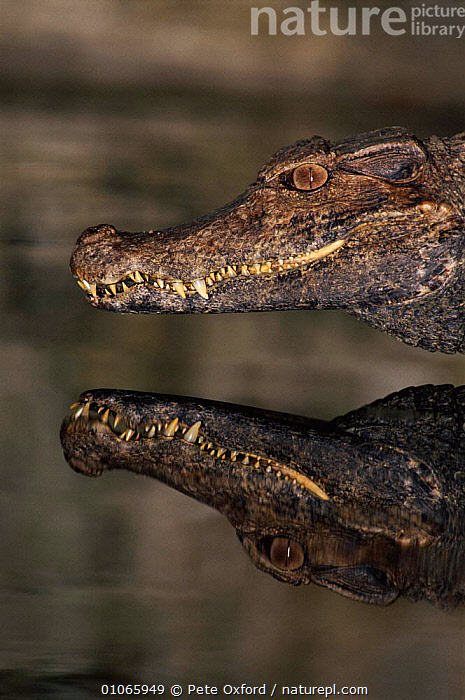Dwarf caiman {Oakeisycgys oakoevrisys} reflected in water. Amazonian Ecuador, WATER,AMAZON,MOUTHS,PO,VERTICAL,HEAD,RAINFOREST,HEADS,FRESHWATER,OUTSTANDING,REPTILES,OXFORD,REFLECTION,SOUTH AMERICA,ECUADOR,TEETH,PETER,PORTRAITS,CROCODYLIA, CAIMANS, Pete Oxford