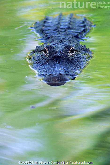 American Alligator at water surface {Alligator mississippiensis} Florida, USA., ALLIGATORS,AUGUSTINE,CARNIVOROUS,EASTERN,EYES,FARM,HERON,NORTH,PORTRAITS,REPTILES,ROOKERY,SPRING,SUBMERGED,SWAMP,SWAMPS,USA,VERTICAL,North America,Wetlands,Crocodylia, Alligators, Steven David Miller