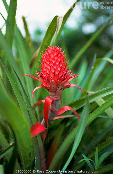 Bromeliad in flower, Ibera marshes National Reserve, N Argentina, South America, BROMELIACEAE,BROMELIADS,FLOWERS,LEAVES,MARSHES,PLANTS,RESERVE,SOUTH AMERICA,VERTICAL,WETLANDS, Ross Couper-Johnston