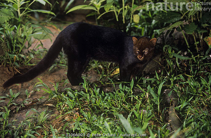 Jaguarundi {Felis yagouaroundi} captive, Amazonia, Ecuador  ,  CARNIVORES,CATS,MAMMALS,SOUTH AMERICA,TROPICAL RAINFOREST,VERTEBRATES  ,  Pete Oxford