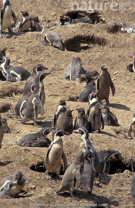 Colony of Humboldt penguins & chicks {Spheniscus humboldti}, coast of Peru, Punta San Juan, VERTICAL,SOUTH AMERICA,SEABIRDS,GROUPS,FAMILIES,JUVENILE,PACIFIC,NESTS,COASTS,BIRDS,PENGUINS, Seabirds, Doug Allan