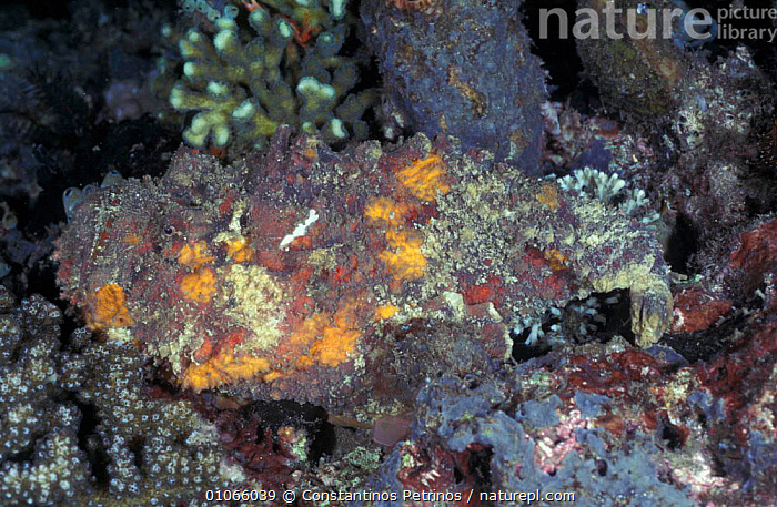 Stonefish {Synandeja verrucosa} Sulawesi, Indonesia, CORAL,TROPICAL,SYNANDEJA,EAST,ASIA,FISH,CAMOUFLAGE,MARINE,VENOMOUS,POISONOUS,UNDERWATER, Constantinos Petrinos