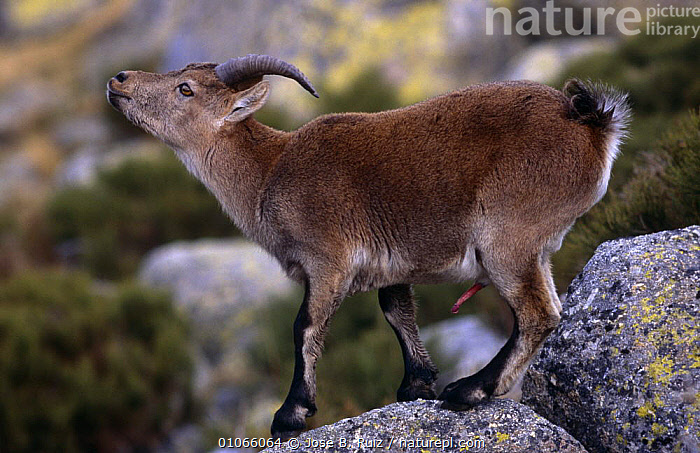 Spanish ibex wild goat with erect penis {Capra pyrenaica} Gredos, Avila, Spain  ,  ARTIODACTYLA,BOVIDS,EUROPE,GOATS,HIGHLANDS,MALES,MAMMALS,MATING BEHAVIOUR,MOUNTAINS,PROFILE,ROCKS,SEX ORGANS,SPAIN,VERTEBRATES,Reproduction,Antelopes  ,  Jose B. Ruiz
