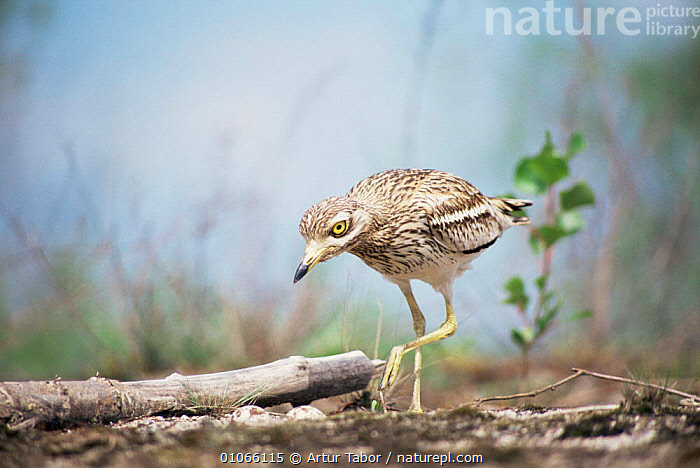Stone curlew {Burhinus oedicnemus} at nest, Poland., BIRDS,HORIZONTAL,NESTS,POLAND,STONE CURLEWS,VERTICAL,Europe,Plovers,Waders, Waders, Artur Tabor