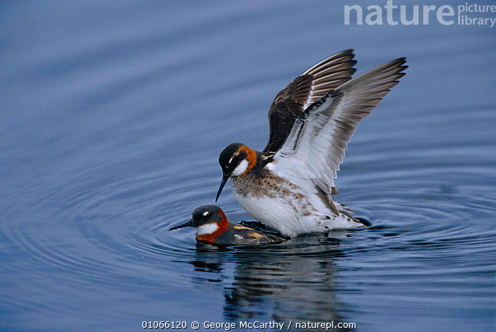Northern phalaropes mating {Phalaropus lobatus} Norway, WATERFOWL,BIRDS,MATING BEHAVIOUR,EUROPE,WATER,MALE FEMALE PAIR,Reproduction, George McCarthy