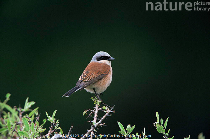 Red backed shrike male {Lanius collurio} Lesbos, Greece., BIRDS,EUROPE,GREECE,HORIZONTAL,MALES,PROFILE,RED,SHRIKES,VERTEBRATES, George McCarthy