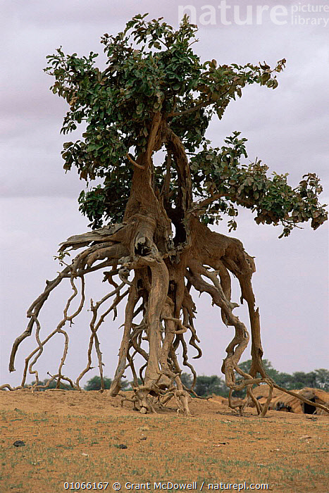Tree with exposed roots on banks of Niger river, Mali, West Africa, AFRICA,COASTAL WATERS,EROSION,MANGROVES,NORTH AFRICA,PLANTS,ROOTS,SOIL,TREES,VERTICAL,WEST AFRICA,NORTH-AFRICA, Grant McDowell
